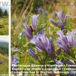 Carpathian-bee-at-the-foot-m.Hoverla-Rakhiv-district