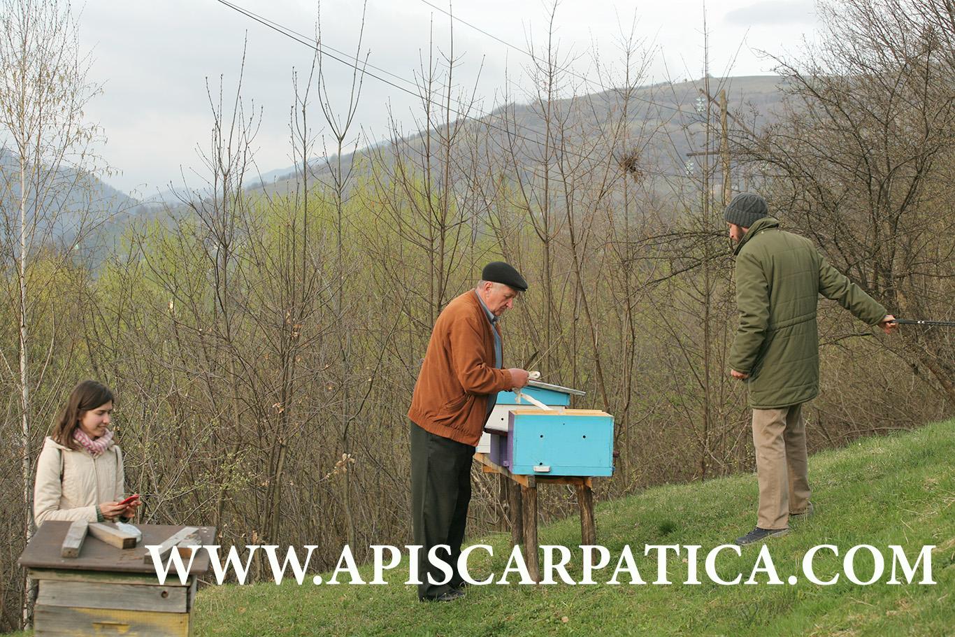 огляд нуклеусного вулика на пасіці карпатських бджіл Рахівського типу у місті Рахів