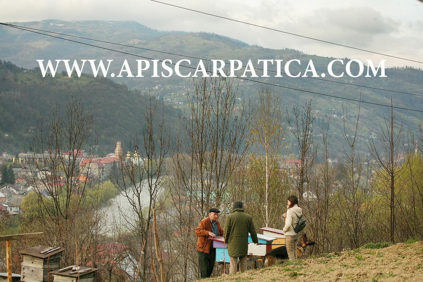 огляд нуклеусів на пасіці карпатських бджіл В.Волощука у місті Рахів