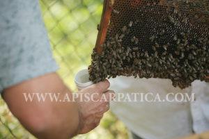 карпатські бджоли рахівський-тип